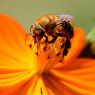 abelha flor